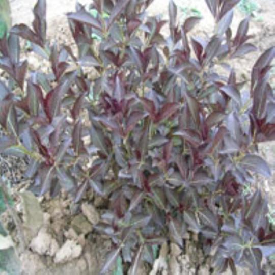 紫叶锦带花床苗