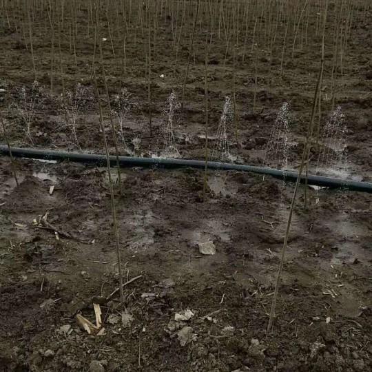 高1米马褂木小苗