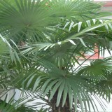 高1米棕竹