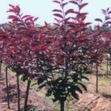 山西2公分紫叶矮樱