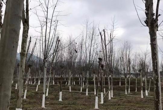 法国梧桐价格 法国梧桐树多少钱一棵?