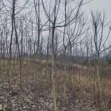 3公分重阳木