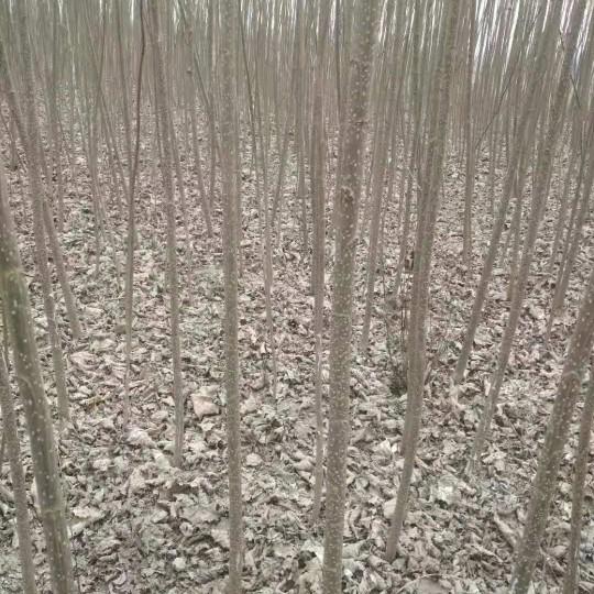 直径5公分杨树