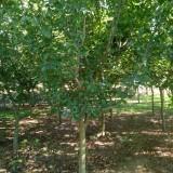 6-14公分木瓜