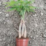 小五瓣发财树