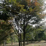 25公分丛生榉树