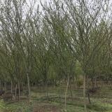 3-20公分垂丝海棠
