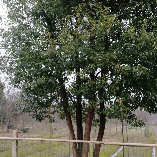 80公分丛生香樟