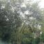 60公分丛生朴树
