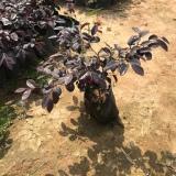 25公分红花继木