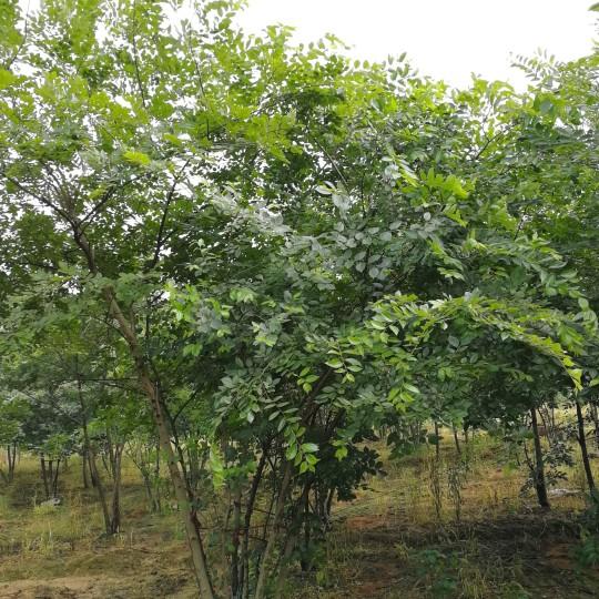 25公分丛生朴树