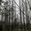 18公分水杉