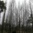 15公分水杉