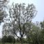 30公分朴树