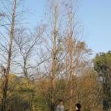 10公分水杉