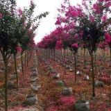 5公分紫薇树