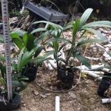 棕竹多少钱一棵?棕竹袋苗价格