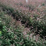 红叶榆叶梅