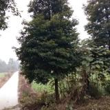5-30公分精品楠木销售