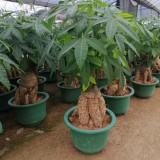 高度100-180公分发财树