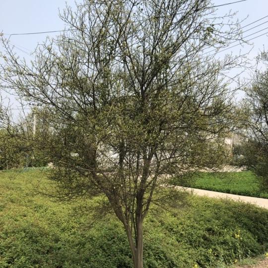 香橼树400