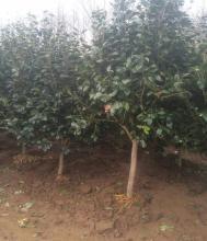 耐冻茶花树