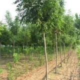 米径15公分栾树