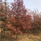 4公分北美枫香