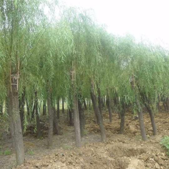 米径8公分垂柳