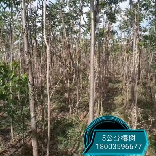 5公分椿树