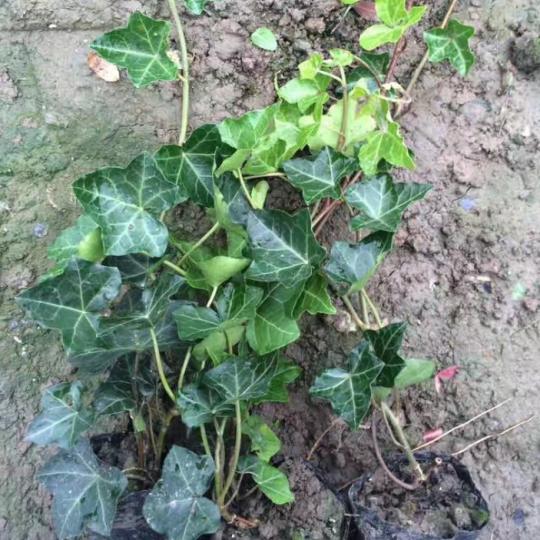 高60公分-1米常春藤
