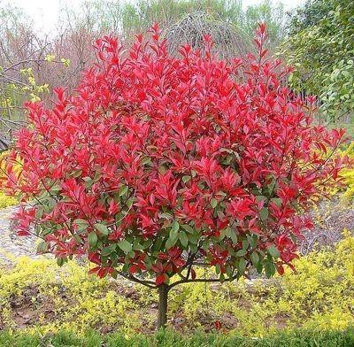 冠幅30公分红叶石楠树苗