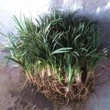 日本麦冬草