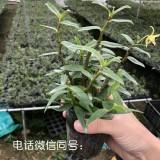 铁皮石斛杯苗驯化种苗