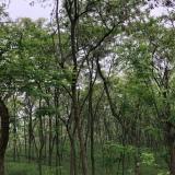 刺槐14-30cm
