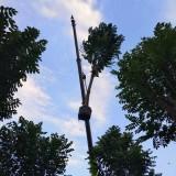 20-25公分火焰木