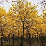 黄花风铃木10到20公分