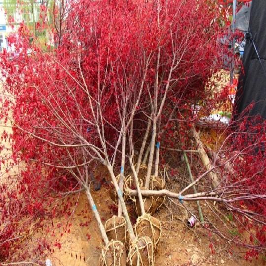 日本红枫树苗
