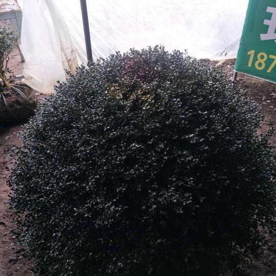冠幅一米五龟甲冬青球