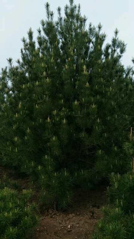 4-5米精品油松