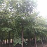 10公分刺槐树价格 基地批发8公分12公分刺槐价格