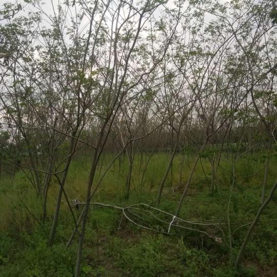 江苏5公分合欢树