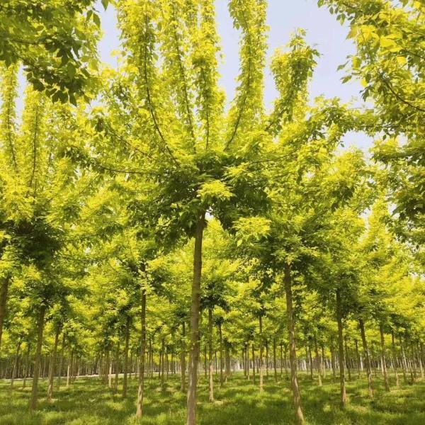 复叶槭,金叶复叶槭