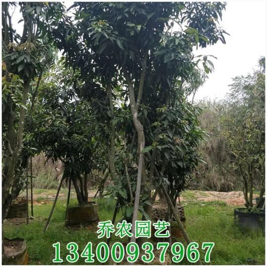 芒果树移植苗