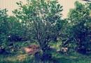 250公分柚子树价格
