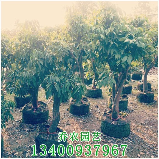 荔枝树价格