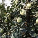 供应明月苹果苗,早熟新品种