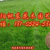 高羊茅草坪种子