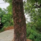 高8.5米黄连木