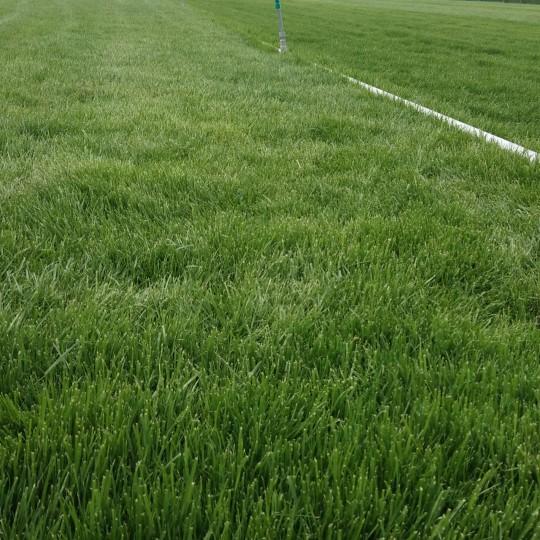 高羊茅草坪价格 高羊茅草坪价格多少一平?